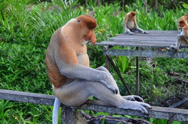 monos-narigudos